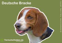 Hund Deutsche Bracke