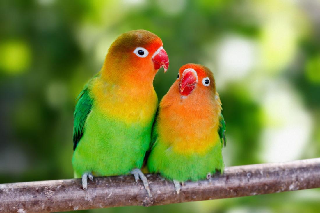 Lovebird, Unzertrennliche